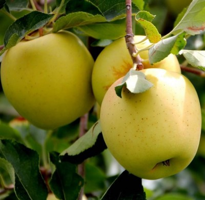 pommier_golden_delicious_1
